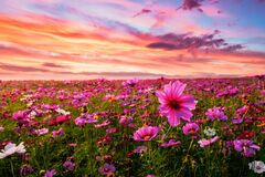 Free Beautiful And Amazing Of Cosmos Flower Field Landscape In Sunset. Stock Photo - 179698760