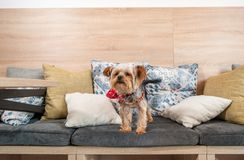 Free Beautiful And Cute Brown Dog Little Yorkshire Terrier Puppy Climbing On The Pillows Of The Sofa Royalty Free Stock Images - 126542989