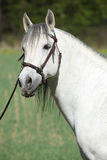 Beautiful andalusian stallion in spring Royalty Free Stock Photos