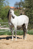 Beautiful andalusian stallion in spring Royalty Free Stock Photo