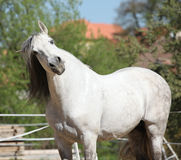 Beautiful andalusian stallion in spring Stock Images