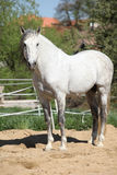 Beautiful andalusian stallion in spring Royalty Free Stock Image