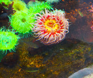 Anemone in intense colors stock image