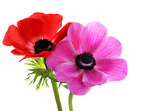 Beautiful anemone flowers royalty free stock photo
