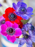 Beautiful Anemone flowers multi coloured Royalty Free Stock Images