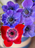 Beautiful Anemone flowers multi coloured Stock Photography