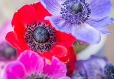 Beautiful Anemone flowers multi coloured. Blue, red, pink and blue Anemone flowers stunning spring flowers with out of focus backgrounds Stock Photos