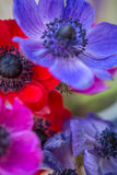 Beautiful Anemone flowers multi coloured. Blue, red, pink and blue Anemone flowers stunning spring flowers with out of focus backgrounds Royalty Free Stock Photo