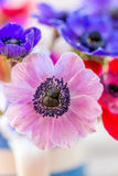 Beautiful Anemone flowers multi coloured. Blue, red, pink and blue Anemone flowers stunning spring flowers with out of focus backgrounds Royalty Free Stock Photography