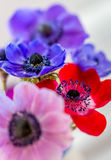 Beautiful Anemone flowers multi coloured. Blue, red, pink and blue Anemone flowers stunning spring flowers with out of focus backgrounds Royalty Free Stock Images
