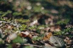 Beautiful anemone white flower in sunny spring woods. Fresh first flowers in warm sunlight in the forest. Springtime. Hello spring royalty free stock photos