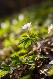 Beautiful anemones/primroses - macro shot Stock Photography