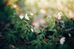 Beautiful anemones white flowers in sunny spring woods. Fresh first flowers in warm sunlight in the forest, selective focus. stock photo
