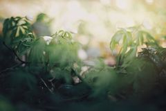 Beautiful anemones white flowers in sunny spring woods. Fresh first flowers in warm sunlight in the forest, selective focus. stock image