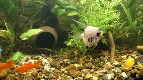 Beautiful angelfish fish swim stock video
