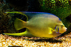 Angelfish Stock Image