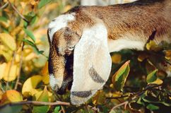 Beautiful Anglo-Nubian goat. Head close up. Beautiful Anglo-Nubian goat. Head closeup royalty free stock photo