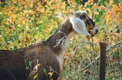 Beautiful Anglo-Nubian young goat with large white ears. stock photography