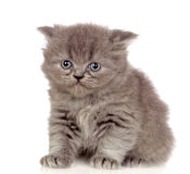 Beautiful angora kitten with gray and soft hair Royalty Free Stock Photo