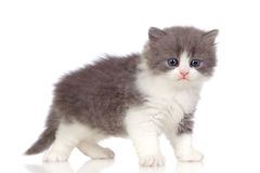 Beautiful angora kitten with gray and soft hair Royalty Free Stock Images