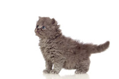 Beautiful angora kitten with gray and soft hair Royalty Free Stock Photography