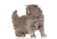 Beautiful angora kitten with gray and soft hair Royalty Free Stock Photos