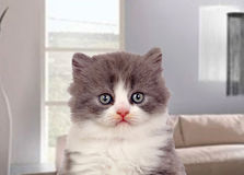 Beautiful angora kitten with gray and soft hair Stock Photography