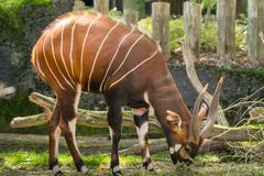 Beautiful animal - big eastern bongo antelope, extremely rare an. Imal leaving only in Kenya Royalty Free Stock Photo