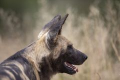 African Wild Dog on the move stock image