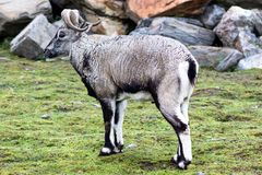 A beautiful animal of the genus of rams with thick wool of gray color and large twisted horns walk pasture in rocky terrain. Animals live in the reserve royalty free stock image