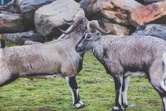 A beautiful animal of the genus of rams with thick wool of gray color and large twisted horns walk pasture in rocky terrain. Animals live in the reserve royalty free stock photo