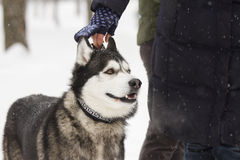 Beautiful animal husky dog in snowy winter heterochromia in the Park with the hostess Royalty Free Stock Photos