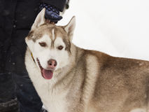 Beautiful animal husky dog in snowy winter heterochromia in the Park with the hostess Royalty Free Stock Photography