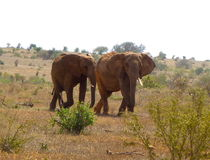 Beautiful animal of Kenya - The Big 5 - The Elephant Stock Images