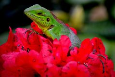 Beautiful animal in nature`habitat.Lizard from forest. on the red flowers on lizard. Calotes Calotes, detail ee portrait of eotic stock photos