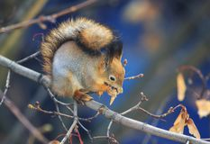 Beautiful animal red squirrel in autumn forest sitti. Top view of beautiful animal red squirrel in autumn forest sitting on a maple tree and eating its seeds royalty free stock photos