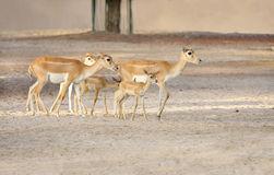 Beautiful antelopes and calves Stock Photo