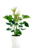 Beautiful Anthedesia anthurium Royalty Free Stock Photography