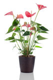 Beautiful Anthedesia anthurium Stock Photo