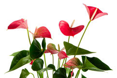Beautiful Anthedesia anthurium. On white background Stock Images