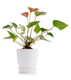 Beautiful Anthedesia anthurium Royalty Free Stock Photos