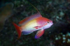 Beautiful anthias fishes Stock Photography