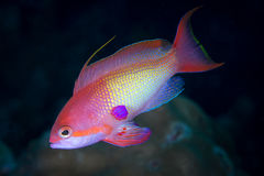 Beautiful anthias fishes stock photography