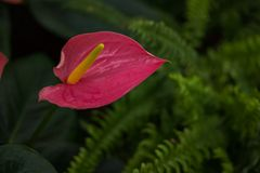 Beautiful Anthurium or flamingo flower bloom. In park Royalty Free Stock Images