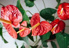 Beautiful anthurium flowers. Colorful red beautiful natural anthurium flowers growing. Top view royalty free stock photos
