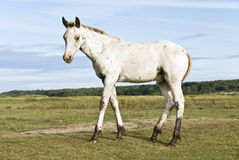Beautiful appaloosa foal. Color photo of a beautiful white appaloosa foal standing in a field in the countryside and looking at the camera Royalty Free Stock Photos