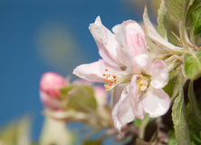 Beautiful apple blossom against blue sky Royalty Free Stock Images