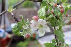 Beautiful apple blossom flowers Royalty Free Stock Photos