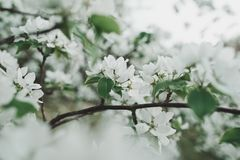 Spring blossom background with soft focus. stock photo