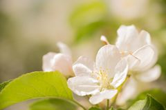 Apple blossom in spring in front of blue sky stock photo